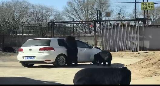 八达岭野生动物园再出意外 车主开窗喂食遭熊群袭击
